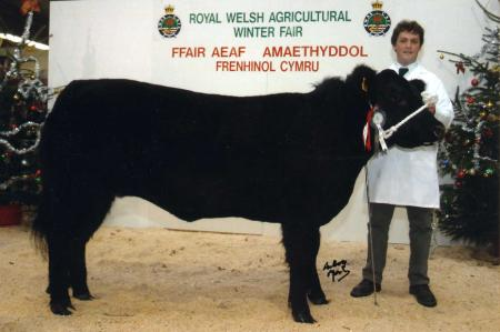 Rhuddel Polled Welsh Black Cattle - Royal Welsh Agricultural Society Winter Fair 2003